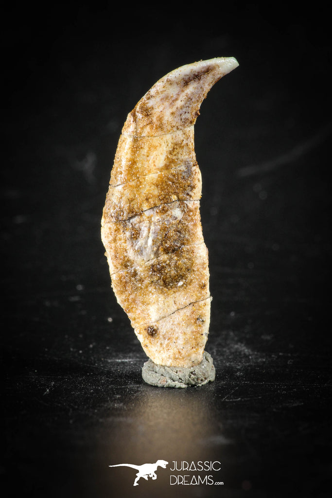 88401 - Top Rare Undescribed Pharyngeal Tooth Of Unidentified Cretaceous Fish KemKem