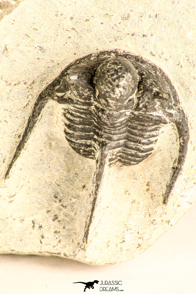 30787 - Nicely Preserved 1.22 Inch Cyphaspis (Otarion) cf. boutscharafinense Devonian Trilobite