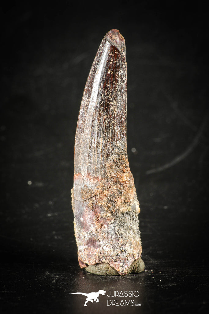 88410 - Top Beautiful Red Juvenile 1.98 Inch Spinosaurus Dinosaur Tooth Cretaceous