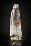 88411 - Top Beautiful Red Juvenile 1.80 Inch Spinosaurus Dinosaur Tooth Cretaceous