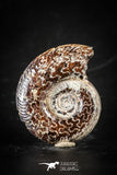 88414 - Superb Pyritized 1.14 Inch Unidentified Ammonite Lower Cretaceous
