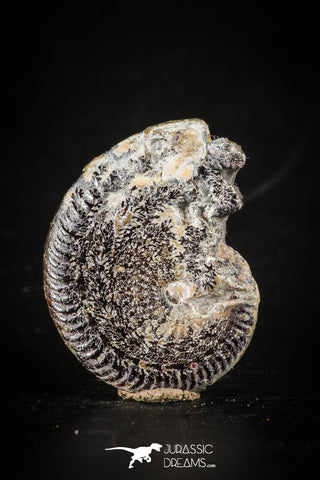 88415 - Superb Pyritized 1.24 Inch Unidentified Ammonite Lower Cretaceous