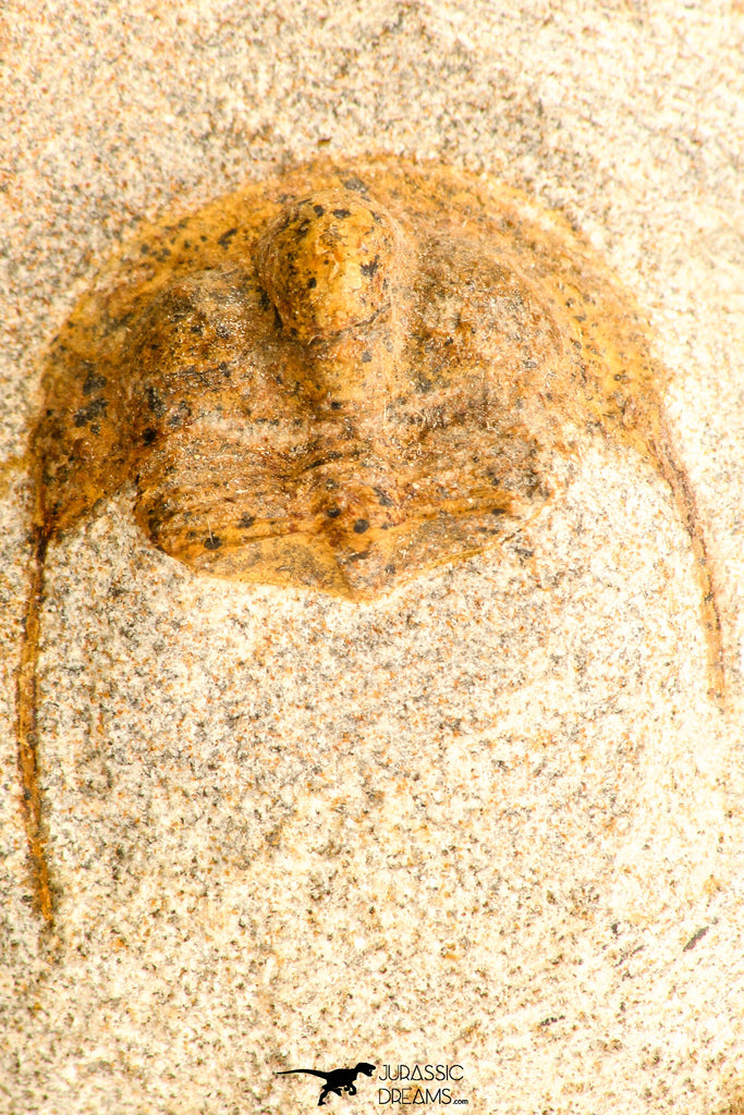 30792 - Top Beautiful 0.99 Inch Onnia sp Ordovician Trilobite