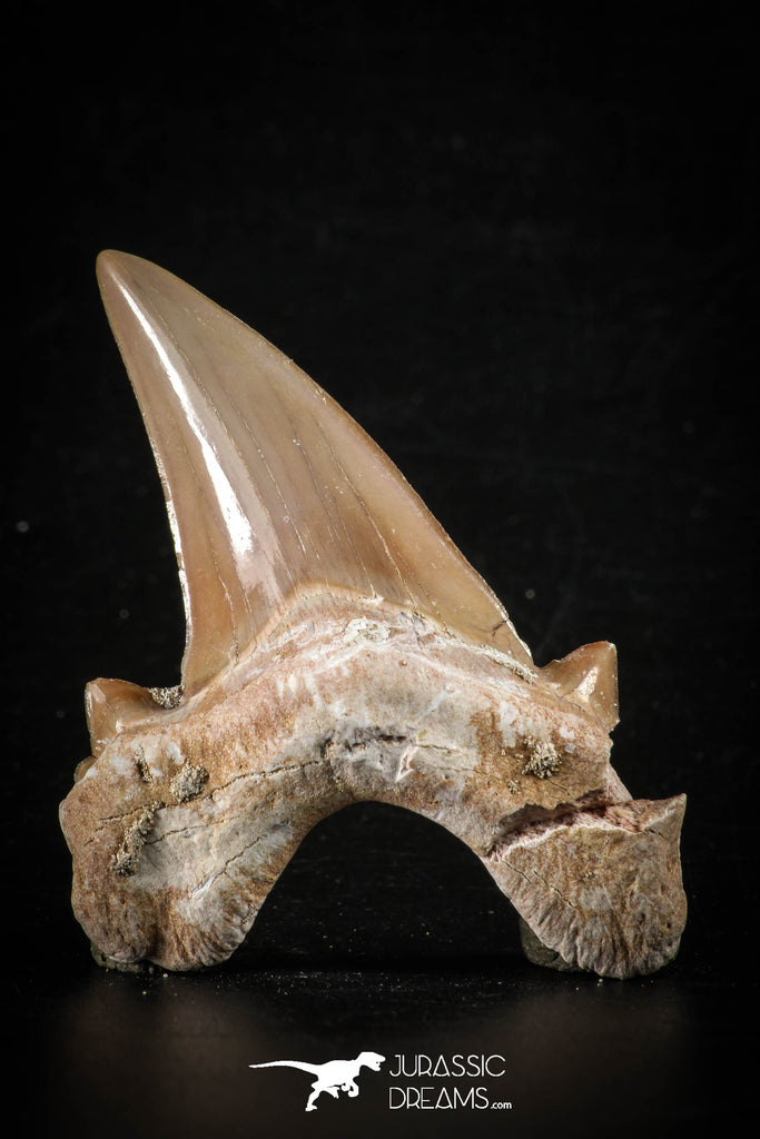 88456 - Top Beautiful OTODUS OBLIQUUS (mackerel shark) Tooth Paleocene