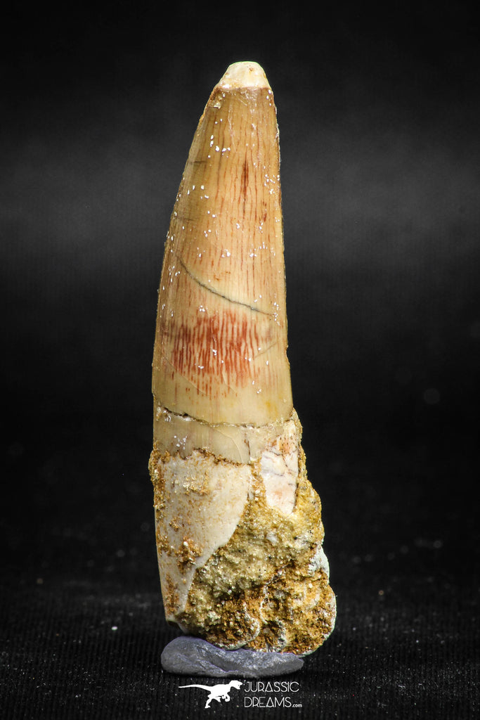 05117 - Beautiful 2.13 Inch Spinosaurus Dinosaur Tooth Cretaceous