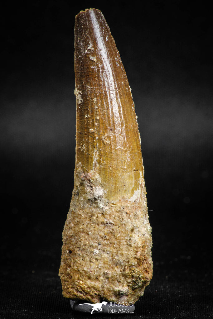 05119 - Top Beautiful 2.60 Inch Spinosaurus Dinosaur Tooth Cretaceous