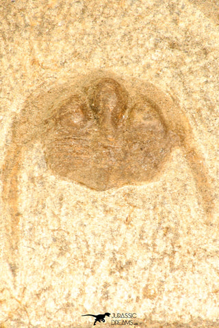 30799 - Well Prepared 0.83 Inch Onnia sp Ordovician Trilobite