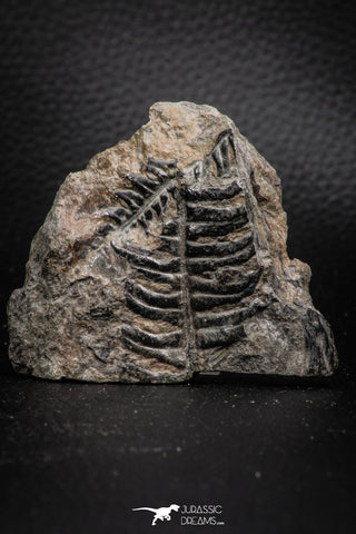 06976 - Top Beautiful 2.00 Inch Alethopteris sp Carboniferous Fossil Fern
