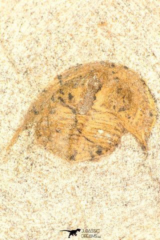30802 - Beautiful 0.70 Inch Onnia sp Ordovician Trilobite
