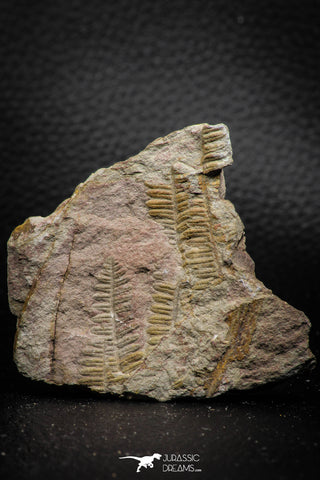 06979 - Well Preserved 2.19 Inch Pecopteris sp Carboniferous Fossil Fern
