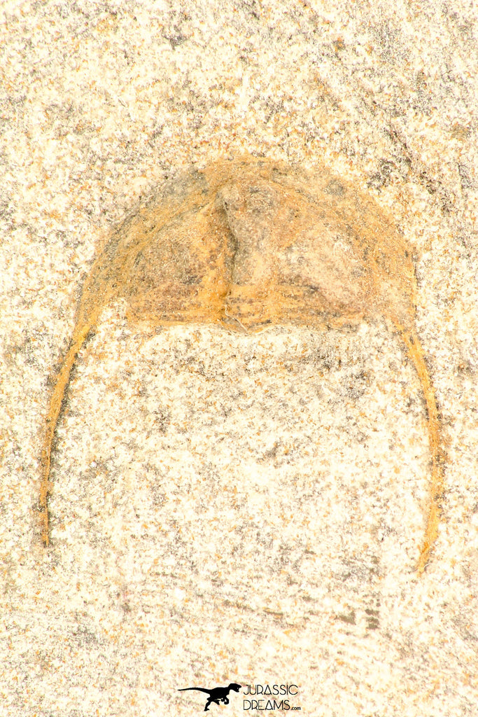 30804 - Nicely Prepared 0.71 Inch Onnia sp Ordovician Trilobite