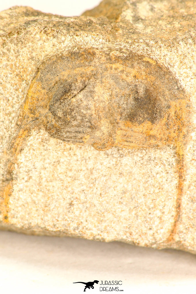30805 - Nicely Preserved 1.04 Inch Onnia sp Ordovician Trilobite