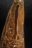 05138 - Beautiful 2.00 Inch Spinosaurus Dinosaur Tooth Cretaceous