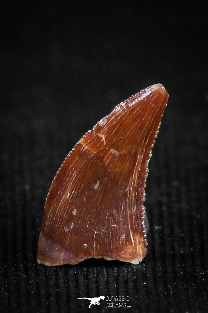 05148 - Well Preserved 0.37 Inch Dromaeosaur Raptor Tooth Cretaceous KemKem Beds