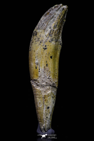 20680 -  Extremely Rare 3.15 Inch Pappocetus lugardi (Whale Ancestor) Incisor Rooted Tooth