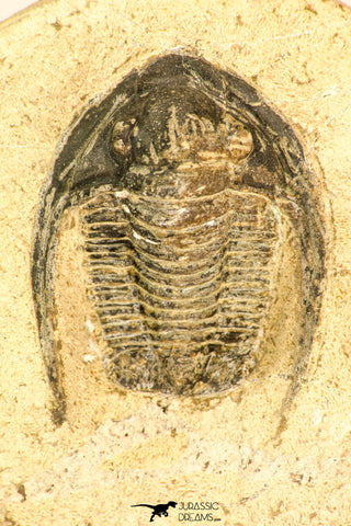 30818 - Nicely Preserved 1.44 Inch Cornuproetus sp Middle Devonian Trilobite