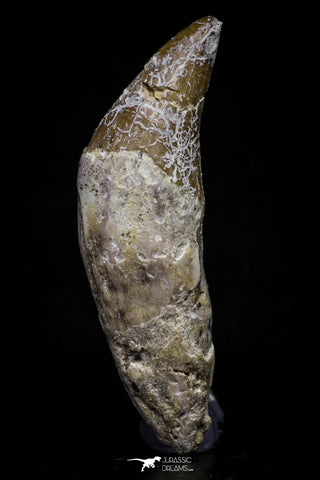 20687 - Extremely Rare 2.23 Inch Pappocetus lugardi (Whale Ancestor) Incisor Rooted Tooth