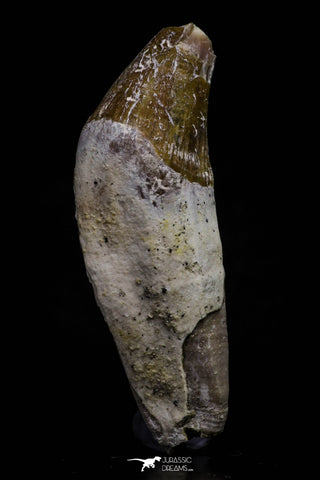 20688 - Extremely Rare 2.17 Inch Pappocetus lugardi (Whale Ancestor) Incisor Rooted Tooth