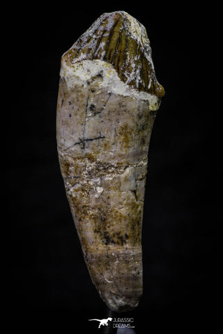20689 -  Extremely Rare 1.71 Inch Pappocetus lugardi (Whale Ancestor) Incisor Rooted Tooth