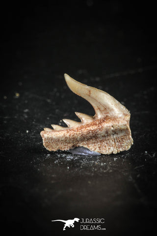 88582 - Top Quality Preserved 0.50 Inch Weltonia ancistrodon Shark Tooth