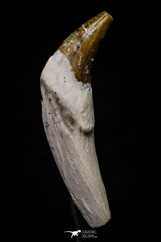 20690 - Extremely Rare 1.91 Inch Pappocetus lugardi (Whale Ancestor) Incisor Rooted Tooth