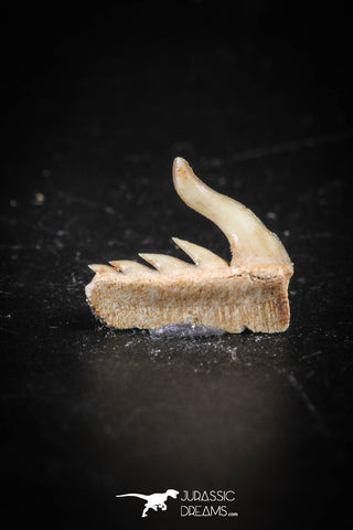 88588 - Top Quality Preserved 0.48 Inch Weltonia ancistrodon Shark Tooth
