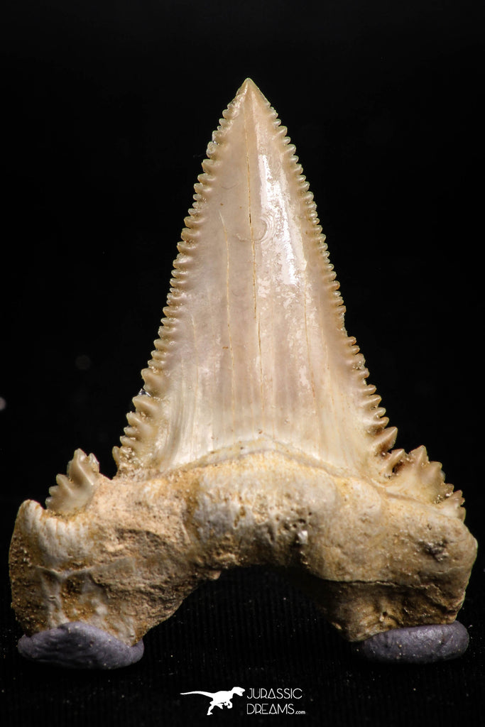 05175 - Strongly Serrated 1.68 Inch Palaeocarcharodon orientalis (Pygmy white Shark) Tooth