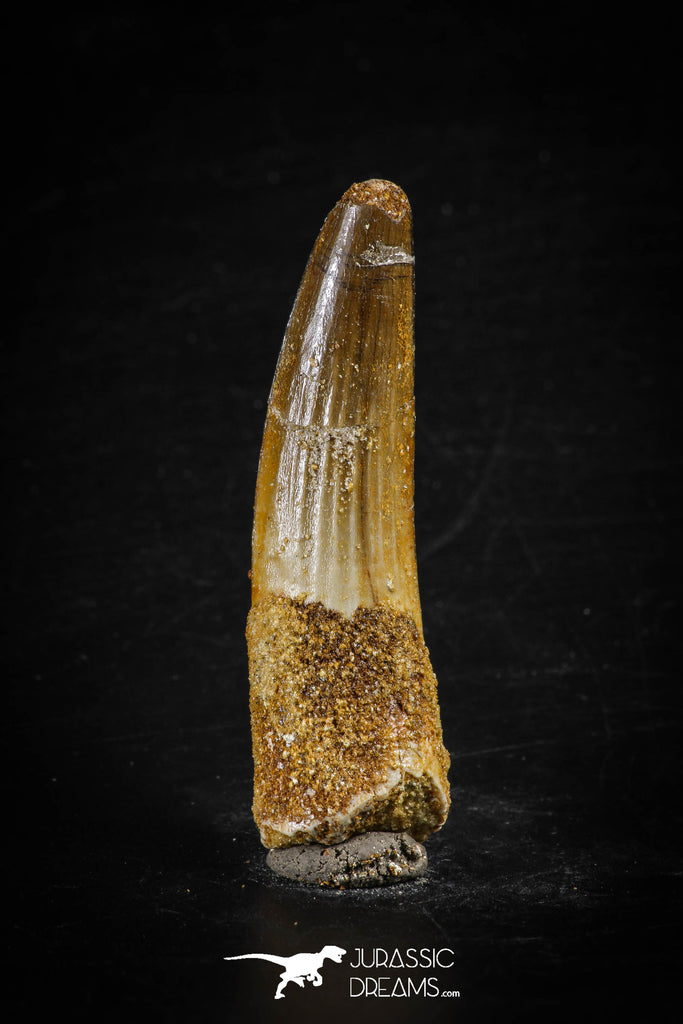 88615 - Top Beautiful Red 2.24 Inch Spinosaurus Dinosaur Tooth Cretaceous