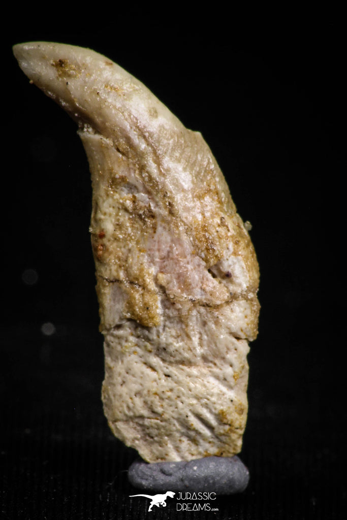 05185 - Top Rare Undescribed Pharyngeal Tooth Of Unidentified Cretaceous Fish KemKem Beds
