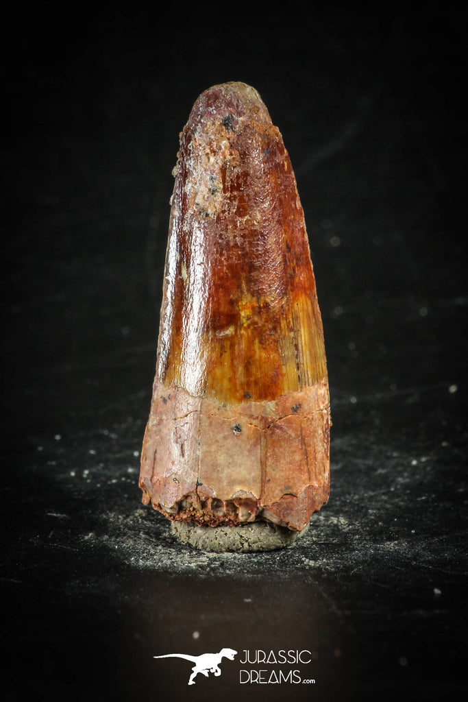 88641 - Top Beautiful Red 1.26 Inch Spinosaurus Dinosaur Tooth Cretaceous