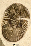 30841 - Nicely Prepared 1.57 Inch Scabriscutellum sp Middle Devonian Trilobite