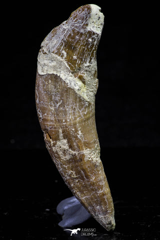 20678 -  Extremely Rare 3.09 Inch Pappocetus lugardi (Whale Ancestor) Incisor Rooted Tooth