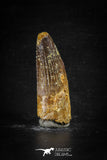 88670 - Top Beautiful 2.18 Inch Spinosaurus Dinosaur Tooth Cretaceous