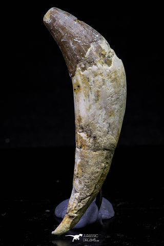 20679 -  Extremely Rare 2.93 Inch Pappocetus lugardi (Whale Ancestor) Incisor Rooted Tooth