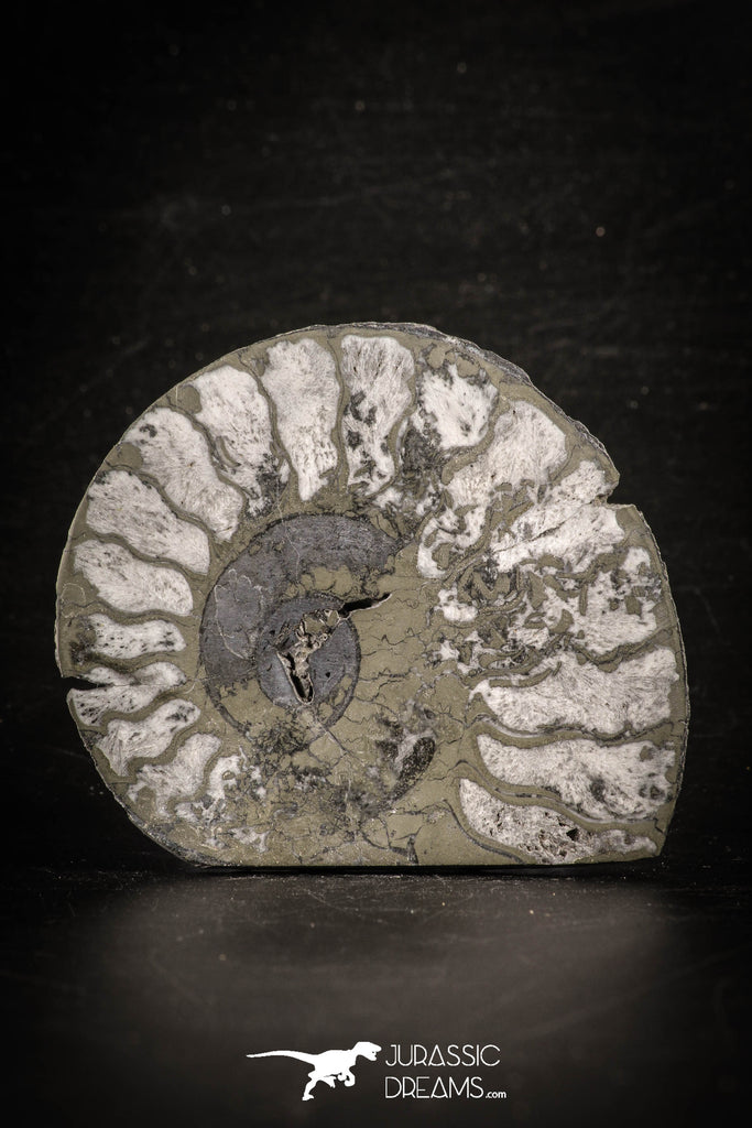 88674 - Beautiful Pyritized Polished Secction 2.74 Inch Unidentified Ammonite Cretaceous