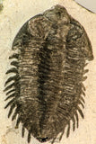 30847 - Nicely Preserved Bug Eyed 2.16 Inch Coltraneia effelesa Middle Devonian