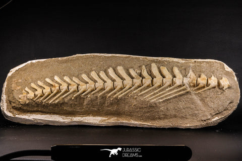 07031 - Museum Grade 18.90 Inch Halisaurus arambourgi (Mosasaur) Partial Tail (Distal End) Late Cretaceous