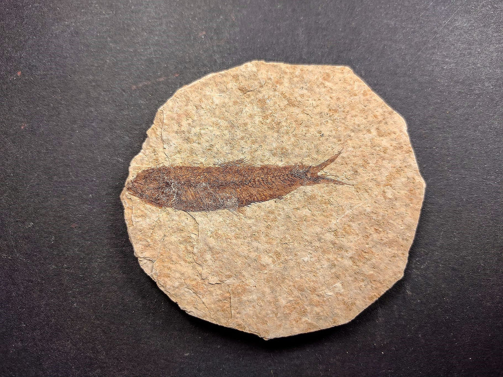 010031 - Nicely Preserved Knightia Fossil Fish Eocene Green River Fm, Wyoming (USA)