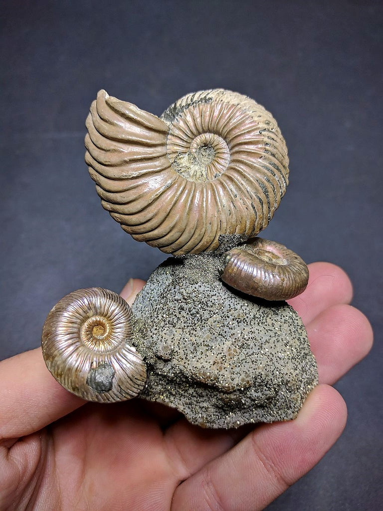 030016 - Superb Pyritized Association Quenstedtoceras + Mirosphinctes Middle Jurassic Russia
