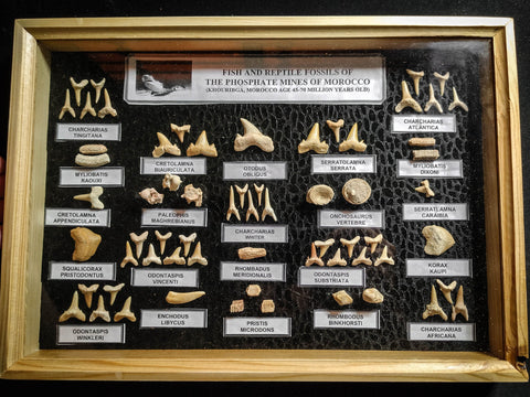 99036 - Fossil Shark Teeth Collection Display Box (Large) 40 - 65 Million Years