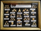 99037 - Fossil Shark Teeth Collection Display Box (Large) 40 - 65 Million Years