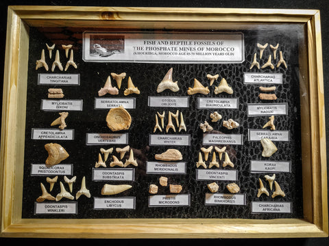 99039 - Fossil Shark Teeth Collection Display Box (Large) 40 - 65 Million Years