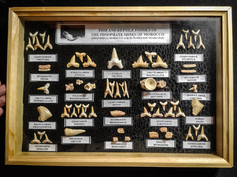 99041 - Fossil Shark Teeth Collection Display Box (Large) 40 - 65 Million Years