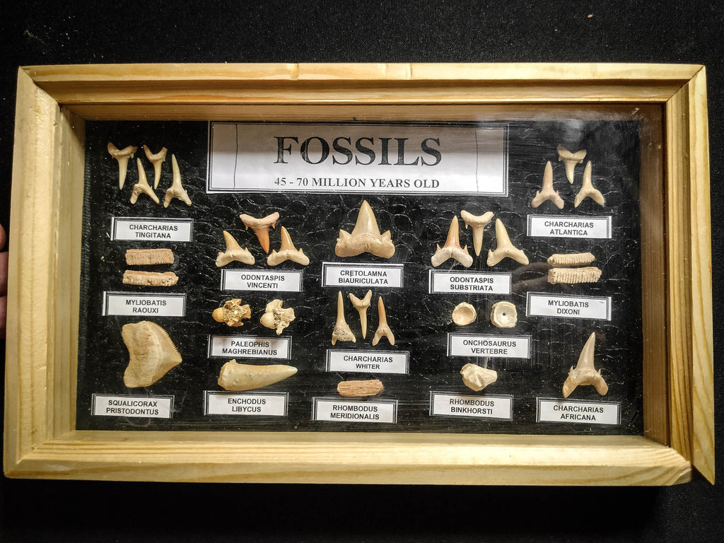 99042 - Fossil Shark Teeth Collection Display Box (Small) 40 - 65 Million Years