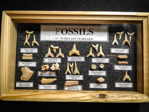 99043 - Fossil Shark Teeth Collection Display Box (Small) 40 - 65 Million Years