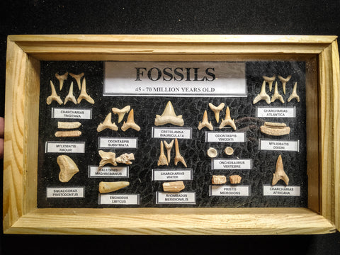 99044 - Fossil Shark Teeth Collection Display Box (Small) 40 - 65 Million Years