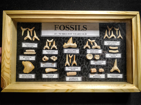 99045 - Fossil Shark Teeth Collection Display Box (Small) 40 - 65 Million Years