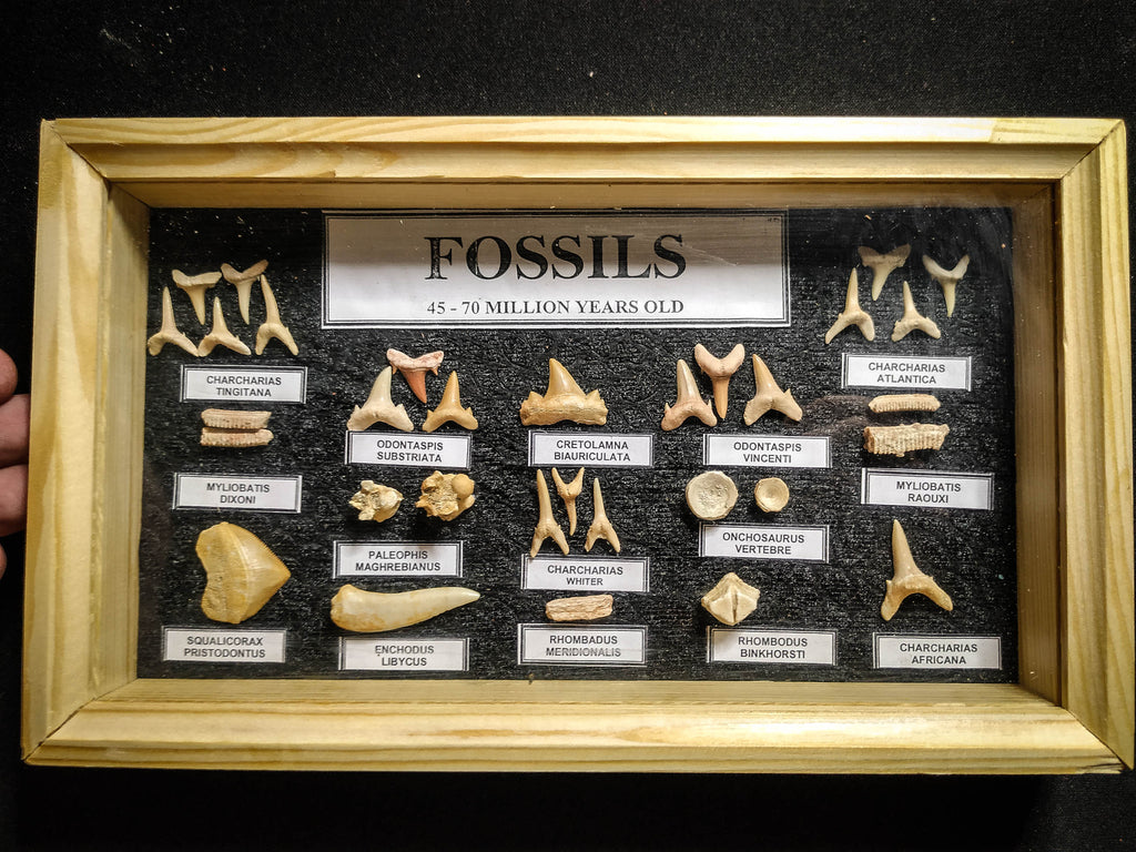 99046 - Fossil Shark Teeth Collection Display Box (Small) 40 - 65 Million Years