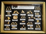 99047 - Fossil Shark Teeth Collection Display Box (Large) 40 - 65 Million Years