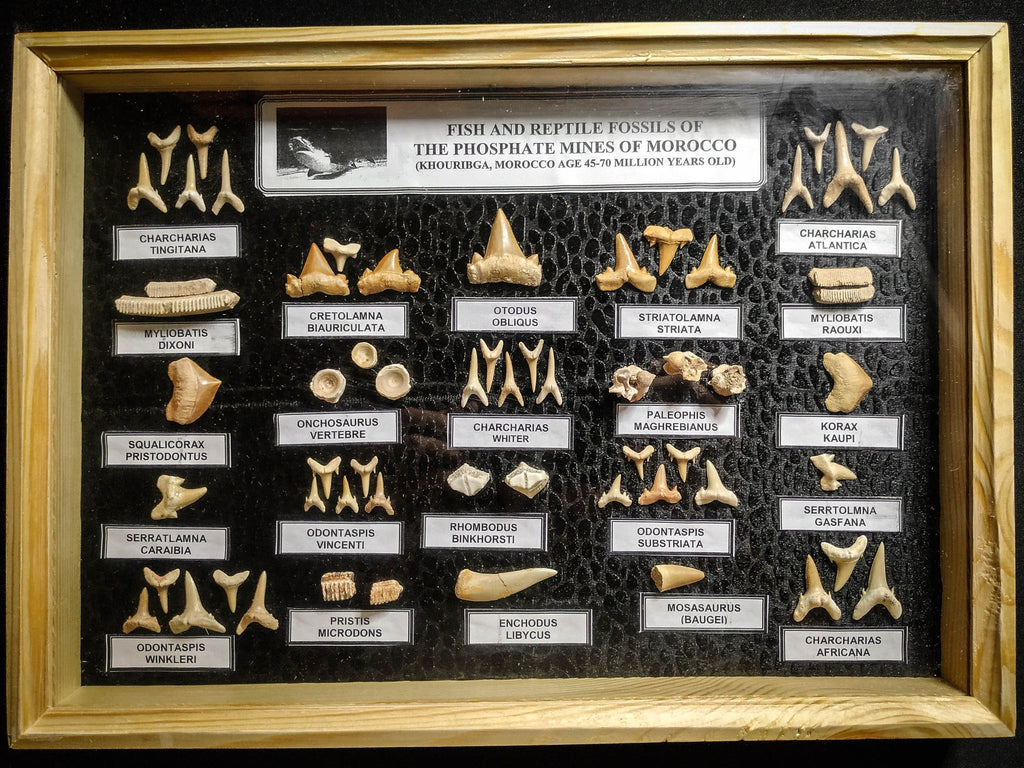 99049 - Fossil Shark Teeth Collection Display Box (Large) 40 - 65 Million Years